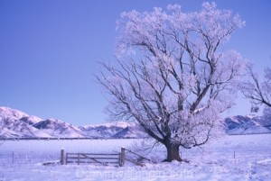 Hoar Frost on Trees & Ewe Range, near Omarama, Mackenzie Country, South Canterbury